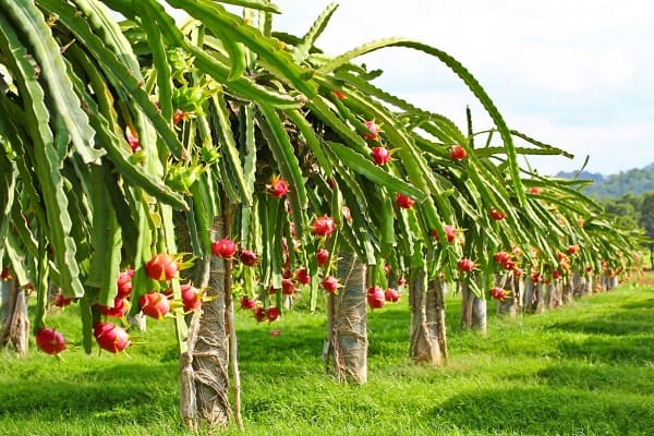 mature dragon fruit cacti