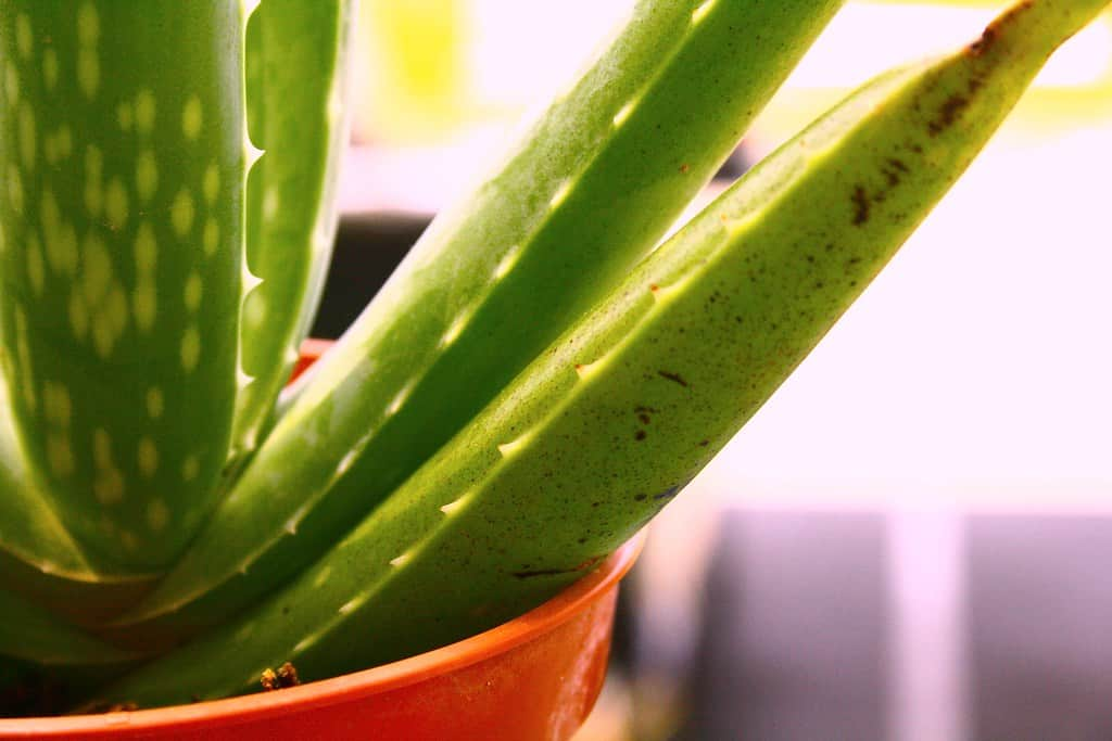small indoor plants aloe vera
