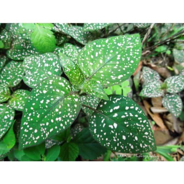 polka dot plant care