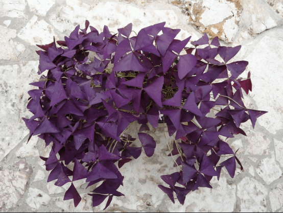oxalis triangularis care