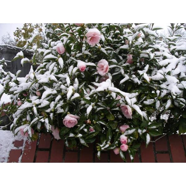 winter flowering plants