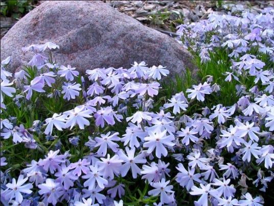 low growing perennials
