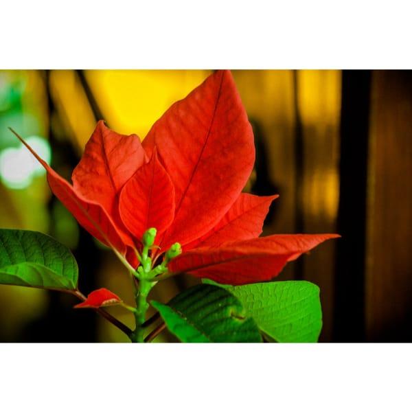 Poinsettia care