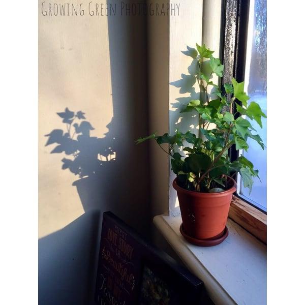 english ivy care