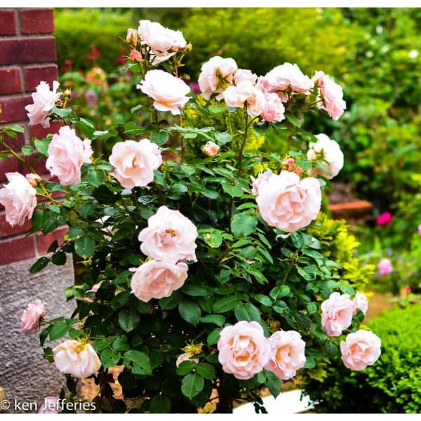 Rose care